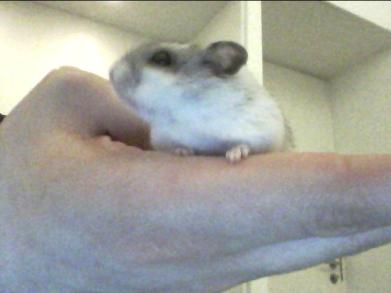 Beans the hamster