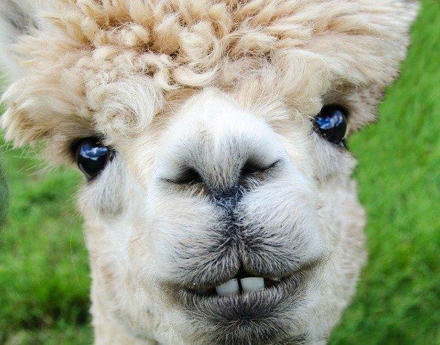A funny looking alpaca