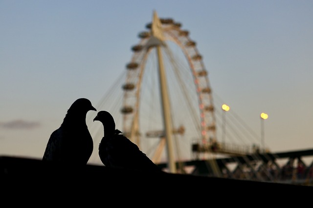 Two pigeons in the evening near the London eye