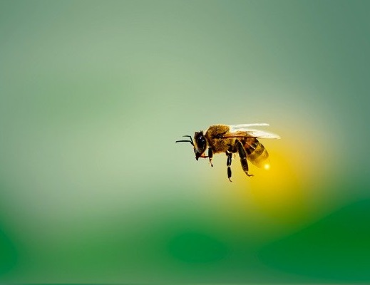 A honey bee flying.