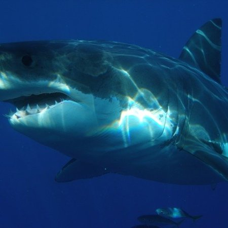 Great white shark swimming - is this your next pet