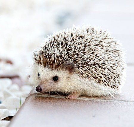 A cute looking hedgehog