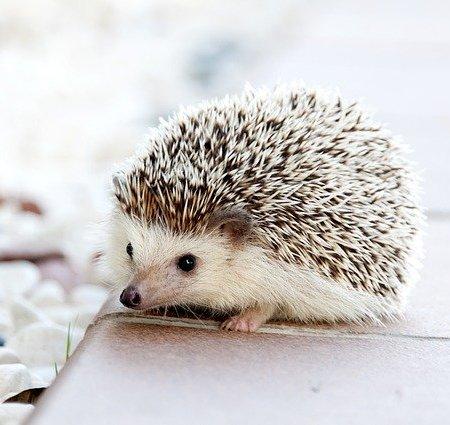 A cute looking hedgehog