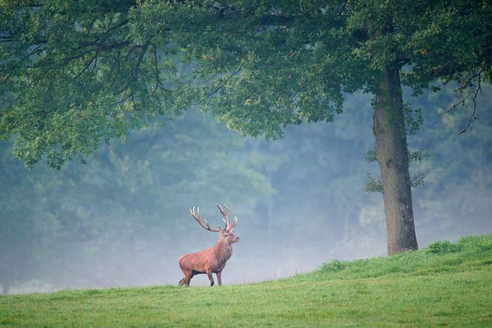 A stag standing in a field next to a tree with mist