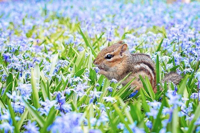 A cute squirrel eating food amongst some bluebells