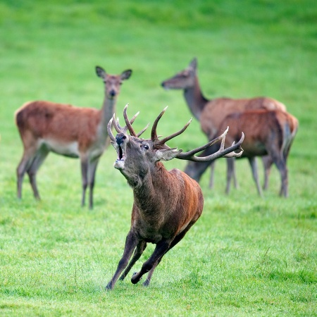 A wild stag running and pulling a funny face