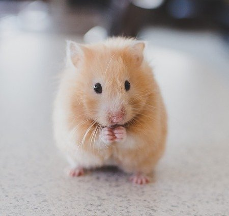 A hamster standing on its back feet and looking cute