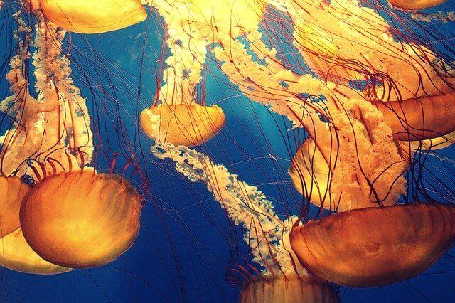 Orange jellyfish swimming in the sea