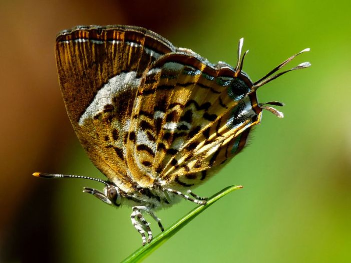 The Monkey Puzzle butterfly