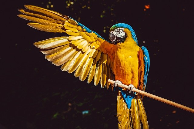 A yellow and blue parrot stretching its wing out