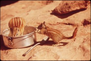 Chipmunks prove they're not just addicted to chips.