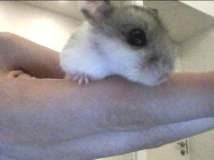 Beans the Chinese Dwarf Hamster was born early in 2012. Super.