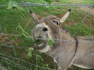 Donkeys like eating stuff.