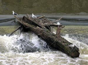 That's a good log, eh? Seagulls not included.