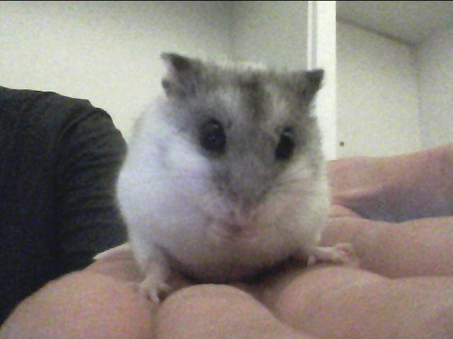 Beans the Chinese dwarf hamster