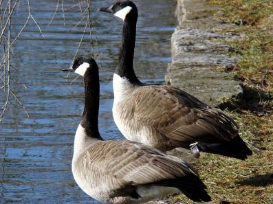 Canada geese getting ready to cause a riot.