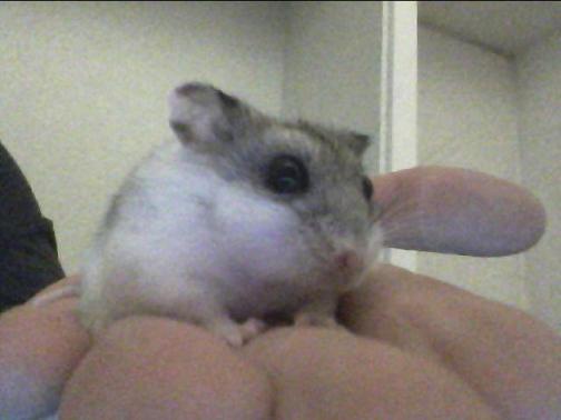 Beans the hamster.