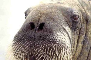 The cold, lifeless stare of the belligerent walrus. Truly terrifying.