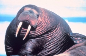 Our Pet Walrus And Us - Experiences With A Large Flippered Marine Mammal!