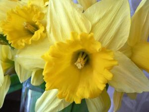 A daffodil.