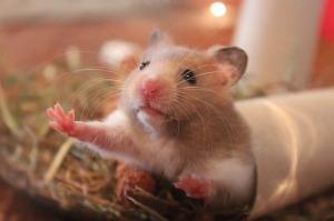 Hamster characteristics