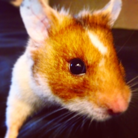 Hamster history