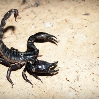 Evolutionary Theory: Why are scorpions so bloody angry?