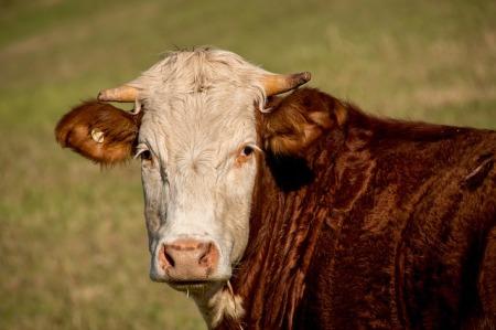A bull