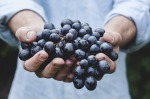Grapes being held by big hands