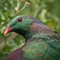 Kererū Pigeon: New Zealand's (Drunk) Bird of the Year 2018