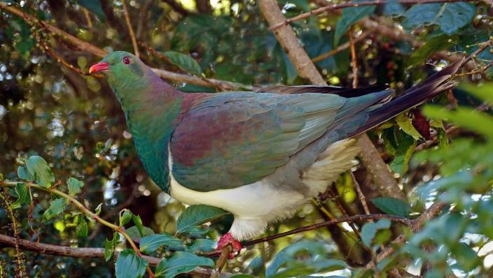 Kererū Pigeon