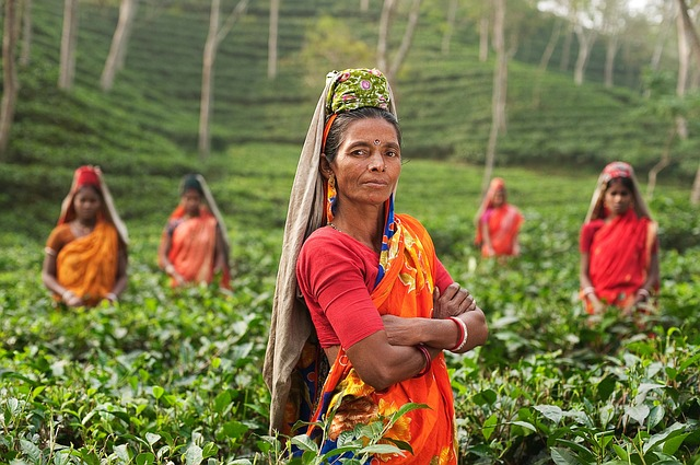 Women in a tea field