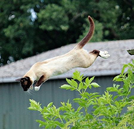 Cat jumping