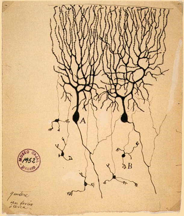 Purkinje cells (A) and granule cells (B) from pigeon cerebellum by Santiago Ramón y Cajal, 1899