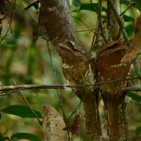 Frogmouth solomon's birds in Thattekad Kerala India