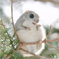 Japanese Dwarf Flying Squirrel: The Cutest Rodent on Earth?