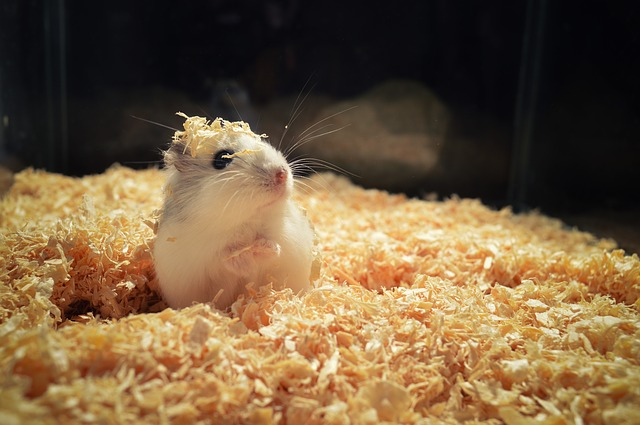A hamster with wood chippings on its head