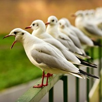 Seagulls Stomping: They Caw Dance, But Not Sing