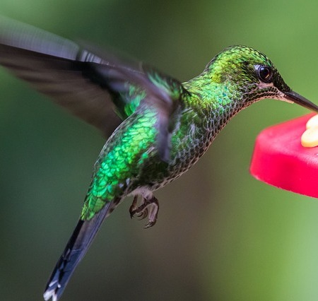 A hummingbird retrieving nectar from a plant.