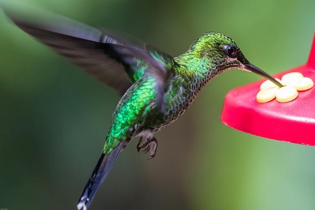 A hummingbird retrieving nectar from a plant.