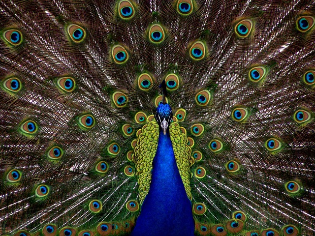Peacock and its feathers