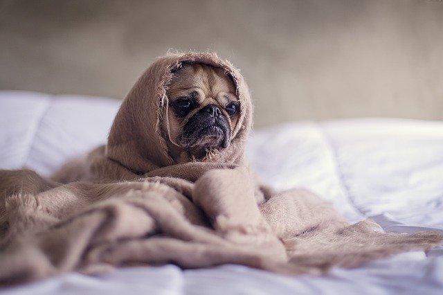 A sleepy looking pug on a bed