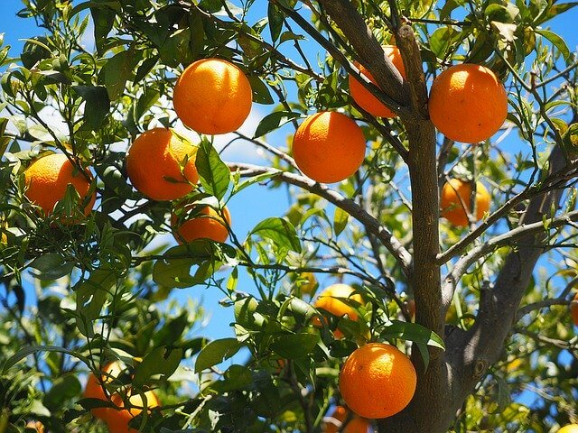 Oranges hanging in a tree