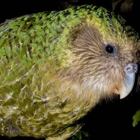 Kākāpō parrot