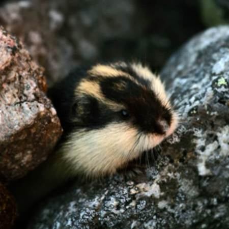 A Norwegian lemming emerging from a rock