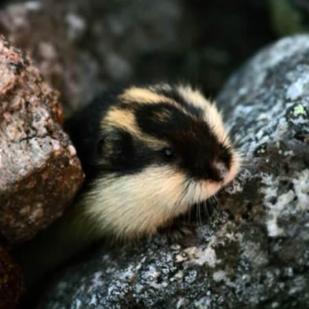 A Norwegian lemming emerging from a rock