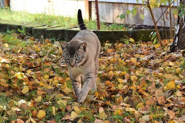 A cat walking during autumn