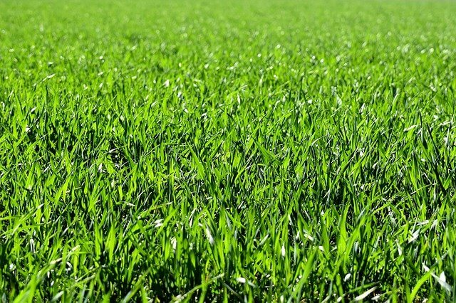 A lawn full of blades of grass
