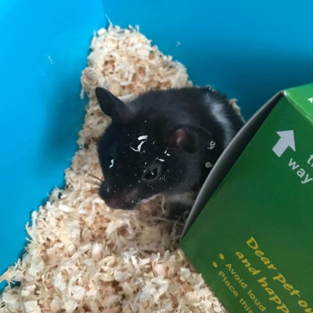 Murray the Hamster
