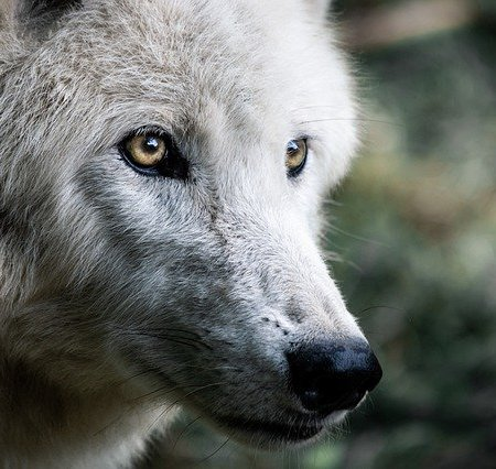 A wolf staring intensely